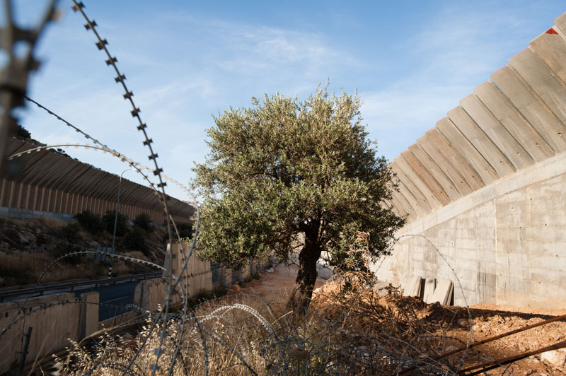 An olive tree grows in between two large concrete walls.